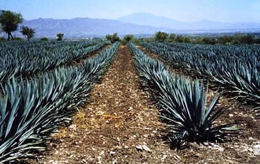 Agave field for Tequila production